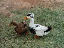 A couple of domestic ducks, drake and duck with a tufted royalty free stock photography