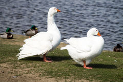 Couple of Domestic Geese Royalty Free Stock Image
