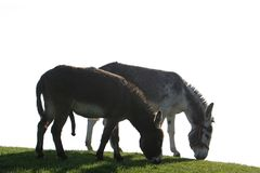 A couple of donkeys. Donkeys are a real individuality. A donkey is a nice, kind, affectionate, beautiful, inquisitive, faithful, sociable, strong, sober and very Royalty Free Stock Photo