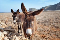 Couple of donkeys Stock Photos