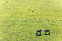 Couple of donkeys grazing in the meadow. Space for copy. High angle view of two donkeys on the field stock images