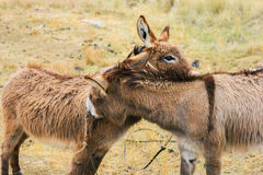 Couple of donkeys Stock Photo