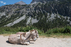 Couple of donkeys resting side by side on the ground Stock Photos