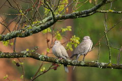 Couple of dove Royalty Free Stock Image