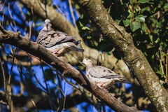 Couple dove on a branch Stock Image