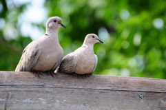 Couple of Doves. Standing on a wooden fence stock photography