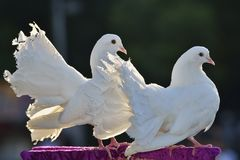 A couple of doves. The symbol of love Royalty Free Stock Photos