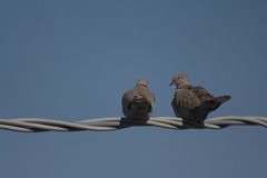 Couple of doves Royalty Free Stock Images