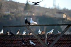 Couple doves Royalty Free Stock Photo