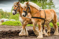 A couple of draft horses plowing the land Royalty Free Stock Image