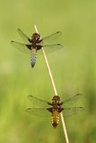 Couple of dragonflies stock photo