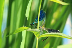 Couple of dragonflies Royalty Free Stock Image