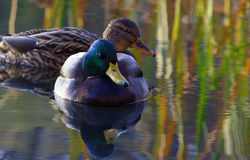 Couple drakes on lake Royalty Free Stock Photography