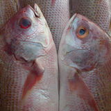 Couple dreamlike beautiful sea pink fish gently touch their bellies, snouts to each other, like a mirror image, square picture. Stock Image