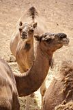 A couple of dromedaries in the height of summer. In the desert Stock Image