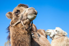 Couple of dromedary camels Royalty Free Stock Photography