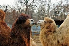Couple of dromedary in love. Kissing stock photos
