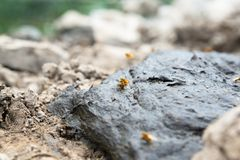 Couple Drosophila mating on cow manure, life of insects Fruit Fly stock images