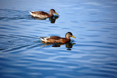 Couple duck Royalty Free Stock Photo