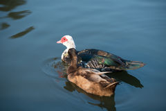 Couple duck floating on the water,selective focus point on white Stock Photography