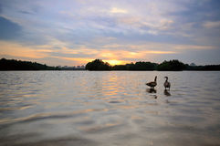 Couple of duck at the lake. Taken at Putrajaya Wetland during sunset Royalty Free Stock Image
