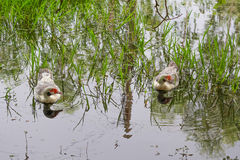 Couple duck swimming in the lake. With grass Stock Photos