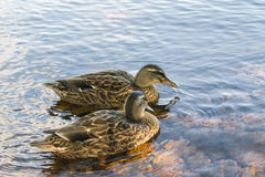 Couple of Duck in water Stock Photo