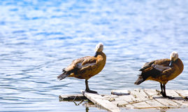 A couple duck on the wood bridge near liver on sunny day Royalty Free Stock Photos