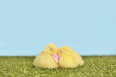 Couple of ducklings sleeping on a grass field Stock Image