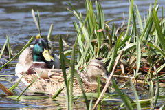 Couple ducks royalty free stock image