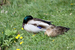 Couple ducks Royalty Free Stock Photography