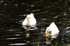 Couple of ducks. Couple of white ducks in a pond Royalty Free Stock Photos
