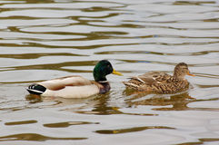 Couple of ducks. Male and female of mallard ducks Stock Image