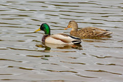 Couple of ducks. Male and female of mallard ducks Royalty Free Stock Photography