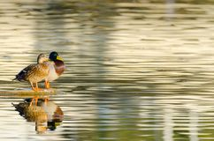 Couple of ducks. Couple of Anas platyrhynchos anade real or azulon in Guadianas rivers, Badajoz. Copy Space Stock Photo