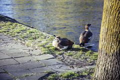 Couple of ducks on brick city pavement, wild nature installed in. Citylife, nobody concept close up Stock Images