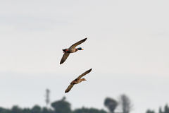Couple of ducks in fligt Stock Photography