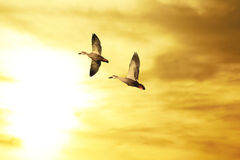 Couple of ducks flying at sunset. Stock Photography