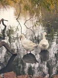 Couple of ducks in lake Stock Images