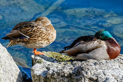 Couple of ducks. On the lakeside, in the sunlight Stock Image