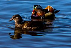 Couple ducks in love swimming in the Pond royalty free stock photos