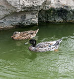 Couple of Ducks. In a pond Royalty Free Stock Photos