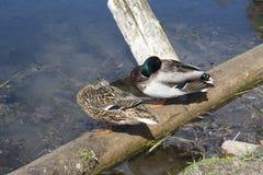 Couple of ducks Stock Photo