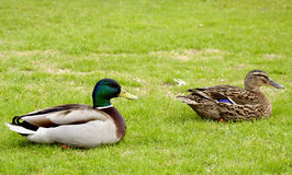 Couple of ducks - side view. Couple of European ducks on a grass side view Stock Image