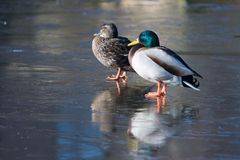 A couple of ducks standing on the ice. Two ducks on a frozen lake Stock Photo