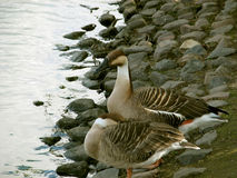 Couple of ducks standing in pond Royalty Free Stock Photo