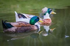 Couple of ducks swimming on the lake royalty free stock photos