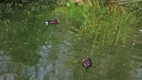 A couple of ducks. Swimming in pond stock video