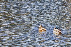 A couple of ducks are swimming in the river and looking camera Royalty Free Stock Photo