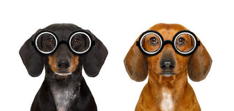 Couple of dumb nerd silly dachshunds. Couple of dumb silly dachshund sausage dogs wearing funny nerd glasses , isolated on white background stock image